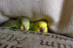Сколько живут попугаи?