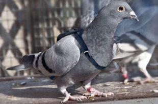 Топ-10 самых дорогих голубей в мире
