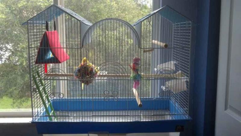 Волнистый попугай – говорливый тенор