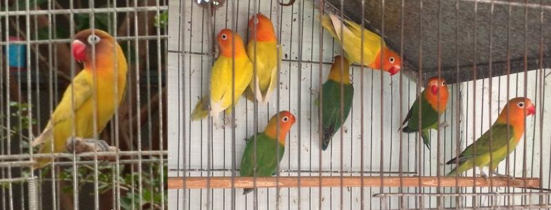 Все о попугаях неразлучниках