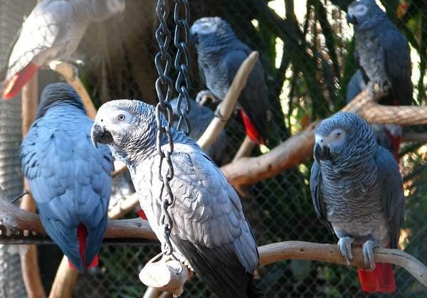 Жако попугай птица