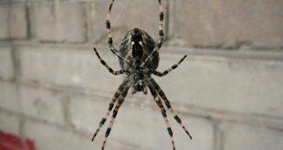 Полезные качества черного паука