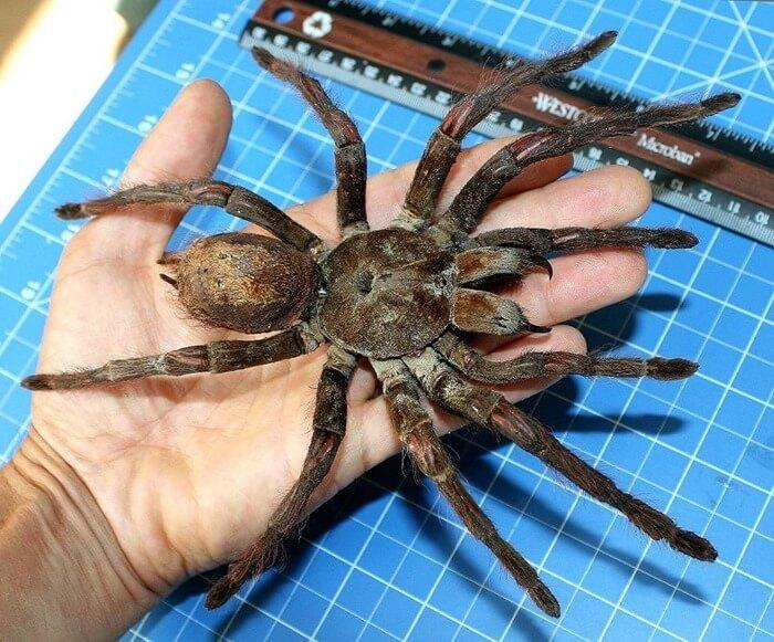 Самый большой паук в мире: топ-10