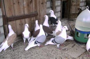Уход за почтовыми голубями